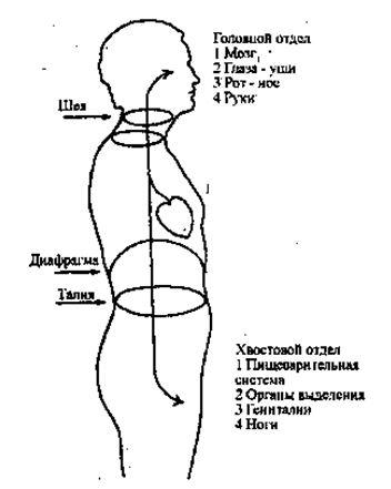 Основными органами головы являются мозг, чувствительные рецепторы, нос и рот. Помимо мозга, основные функции этой части тела имеют отношение к принятию. Руки способствуют этому. Кислород, пища и сенсорная стимуляция поступают через голову. Нижняя часть живота и таз связаны с выделением: с удалением из организма продуктов распада и сексуальной разрядкой. В биоэнергетике мы расцениваем ноги как органы разрядки, потому что они перемещают тело и заземляют его.
